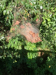A spider web in a tree by the Swanson Bridge.